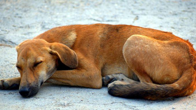 Mittelmehrkrankheiten beim Hund